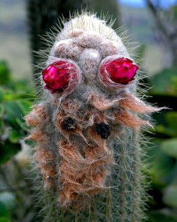 cactus with flowers by Zé Eduardo… on Flickr.Cthulhu? Pastafariano?