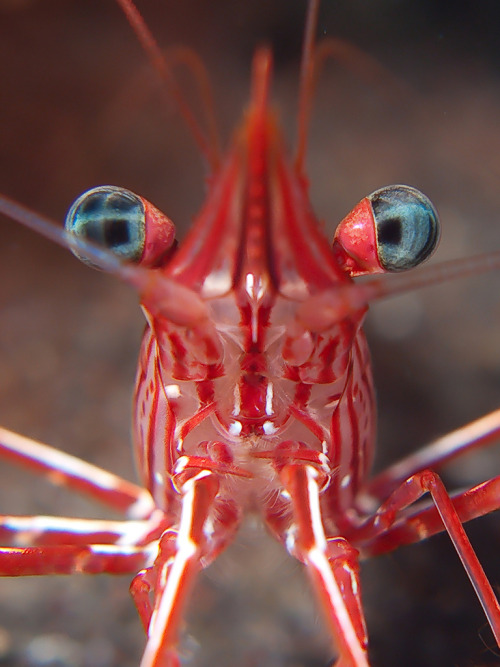 anoceanactivist:  hinge-back shrimp (by doug.deep)