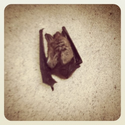 RIP Bernie the Bat - he lived & died in my parking garage :.( (Taken with instagram)