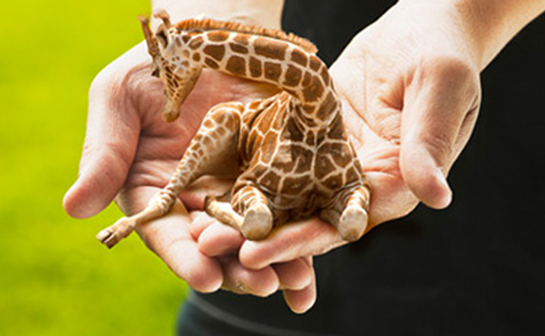 Petite Lap Giraffes are very funny animal that require special care. They need lots of love. Hugs and kisses every day. Otherwise they make tears.