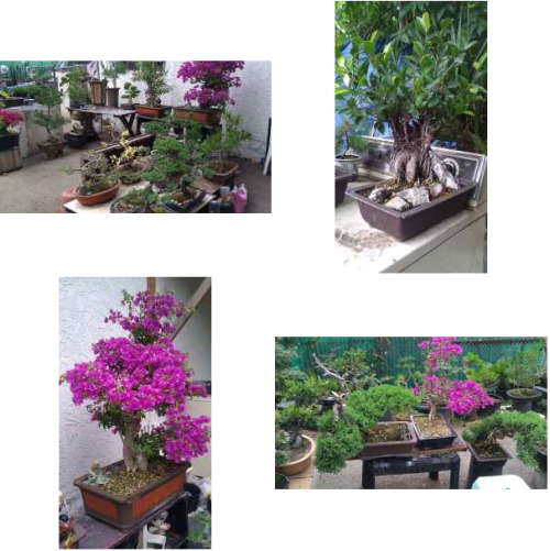 Bonsai trees for sale on craigslist