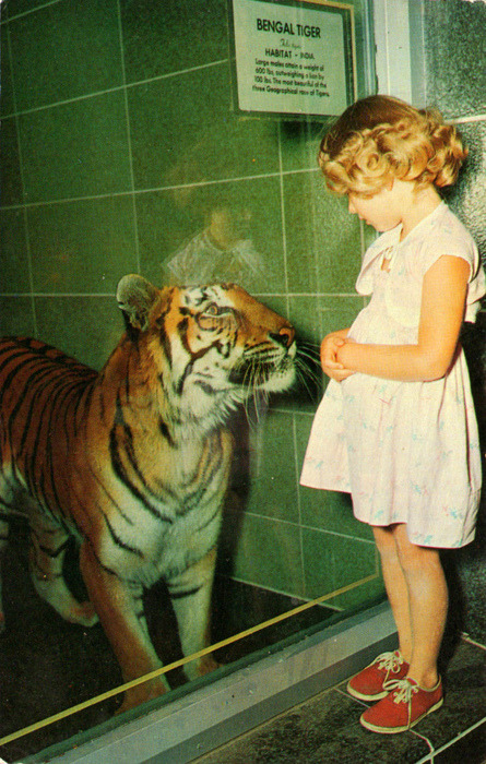 This is close to how I remember the San Francisco zoo kept their tigers when I was a wee one - except they were kind of elevated on a platform so you couldn't be face to face like that. I was probably dressed similarly to this girl when Grandma took me, but not nearly as well behaved.