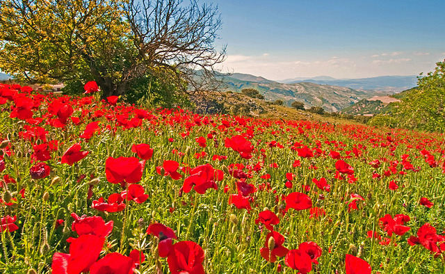 | ♕ |  Poppy field in Andalusia, Spain  | by Mari Ward-Foster