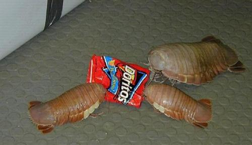 Best guess for this image: giant isopod