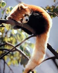 - Oh Hi Little RED PANDA ! Can i keep you ?