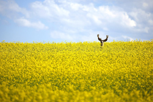 Cremona, Canada: A stag stands in a neck high field of canola  Photograph: Jeff McIntosh/AP/The Canadian Press