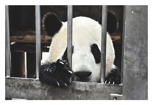 freedom! (photo of a baby panda by tiffy chen)