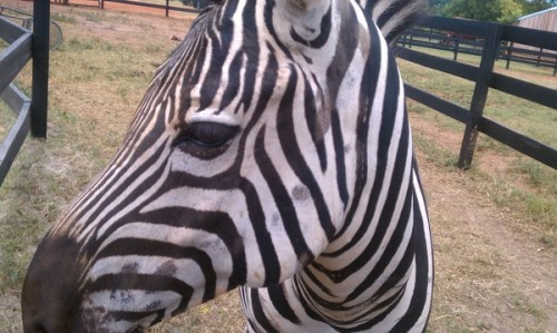 A beautiful Zebra I met named Ziggy!
