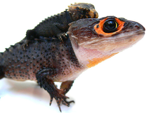 NEEEED. Red-eyed crocodile skink, tribolonotus gracilis.