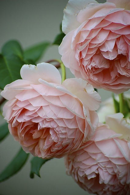 bella102:  'William Morris' David Austin Old English Rose