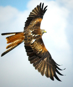 Red kite - Milvus milvus by Alan Saunders on Flickr.