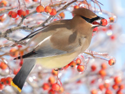 WINTER FEAST    Cedar Waxwing  ( Bombycilla cedrorum ) by C.S. Drake on Flickr.