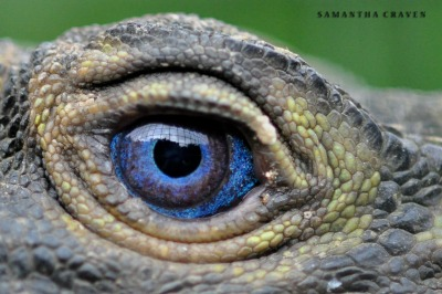 theanimalblog:  Philippine Sailfin lizard (Hydrosaurus pustulatus) by mad-as-a-marine-biologist
