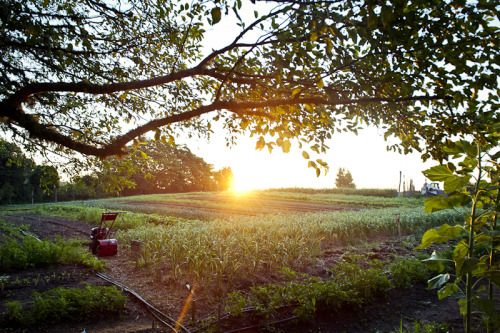 achilsummer:  sunrise @ beetlebung farm