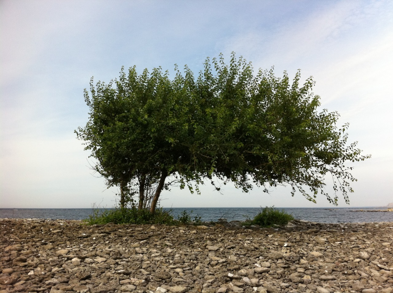 Beach tree at Stora Karlsö.