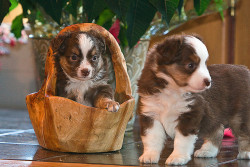 Minature Australian Shepards