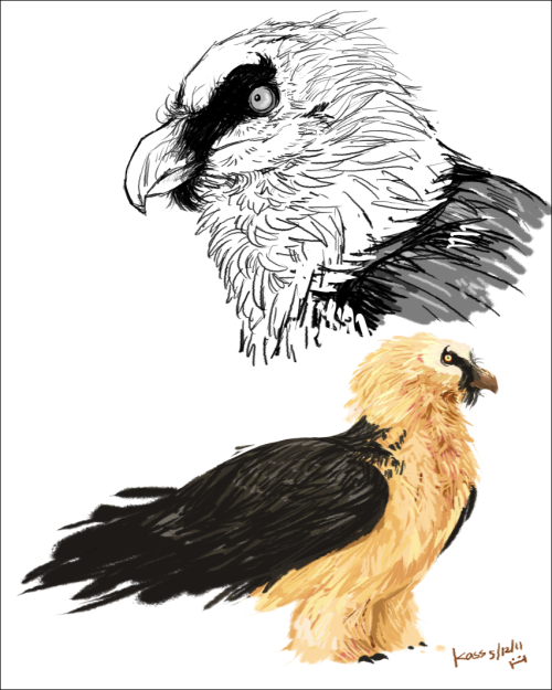 guess I'll post this here too, I love bearded vultures c: