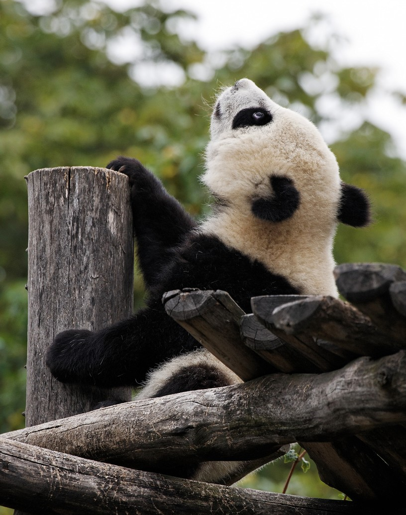 fuckyeahgiantpanda:  Fu Hu at the Vienna Zoo on August 1, 2011. © Friedrich Mader.