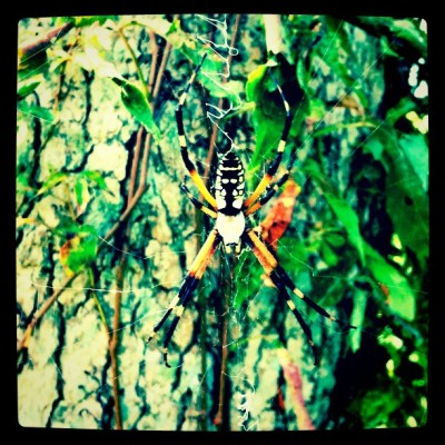 Black and yellow garden spider - Argiope aurantia
