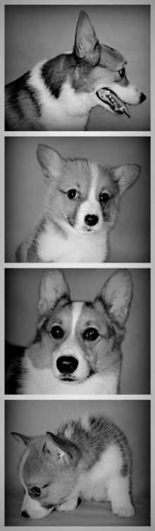 One and a half Corgis  Submitted by Fina