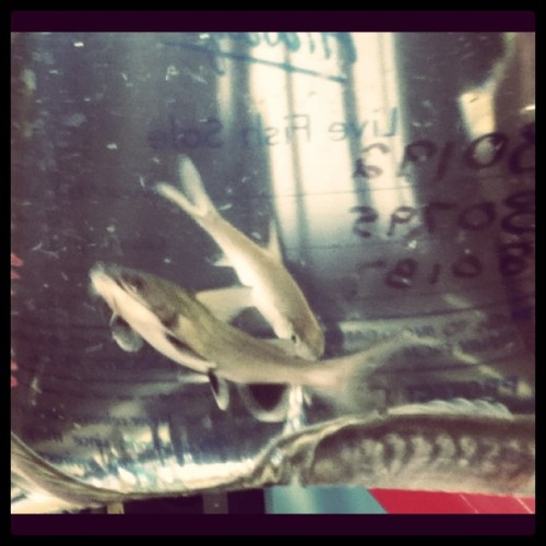 I bought two sharks and a long ass dragonfish. (Taken with instagram)