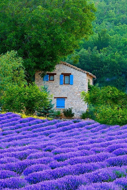 sunsurfer:  Lavender Fields, Sault, Provence, France photo via corporatefineart