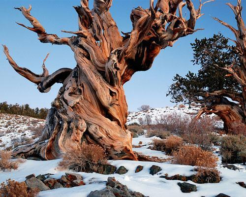 At 4,841 years old, this ancient bristlecone pine is the oldest known non-clonal organism on Earth. Located in the White Mountains of California, in Inyo National Forest, Methuselah's exact location is kept a close secret in order to protect it from the public. (An older specimen named Prometheus, which was more than 5,000 years old, was cut down by a U.S. Forest Service graduate student in 1964.) Today you can visit the grove where Methuselah hides, but you'll have to guess at which tree it is. Could this one be it? The world's 10 oldest living trees