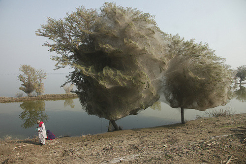 Spiders in Pakistan encase whole trees in webs | via MNN - Mother Nature Network