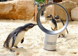 At the London Zoo, the penguins get a Dyson fan to keep them cool…