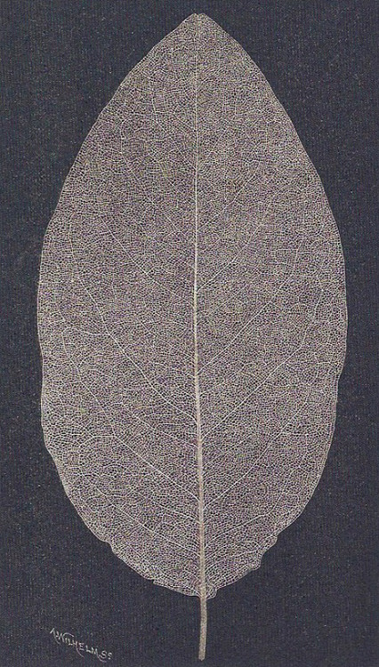 (via the art of memory: printed from nature)  wood engraving of a leaf skeletons by a. wilhelm  found in the book impressions of nature: a history of nature printing by roderick cave