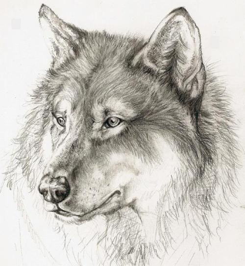 Wolf Drawing Tumblr | Car Interior Design