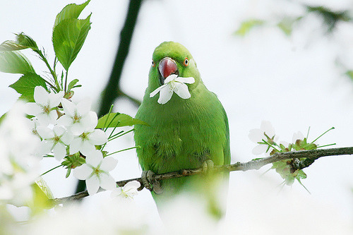 florenti:  Rose ringed Parakeet in a romantic mood (by Roeselien Raimond)