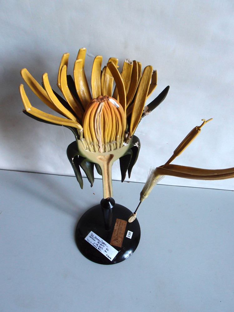 Model of Taraxacum officinale (Dandelion)  via: Universitaets Sammlungen