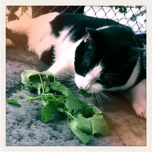 Wendell enjoying the garden's bounty!   Before I had cats I had no idea they liked greens.  They go bananas for kale.  Who knew?? Photo credit: JC!