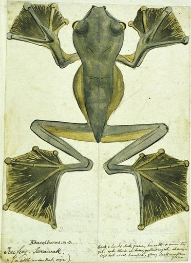 "biomedicalephemera:  Field illustration of Wallace's flying frog (Rhacophorus nigropalmatus) Alfred Russel Wallace discovered this ""flying"" (gliding) frog during his first expedition to South-East Asia. This is the first known illustration of the species."