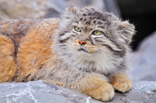 Pallas's Cat (Otocolobus manul or Felis manul), also called Manul, is a small wild cat named after German naturalist Peter Simon Pallas, who first described the species in 1776. Pallas's cats are thought to be crepuscular hunters and to feed on small rodents, pikas and birds. They hunt primarily by ambush or stalking, using low vegetation and  rocky terrain for cover; they are not fast runners. They spend the day  sheltering in crevices or abandoned burrows of other animals, although  they have also been observed basking in warm sunshine. (Wiki.)