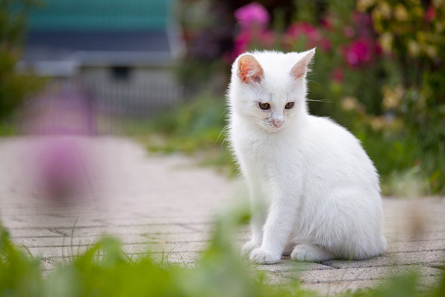 White Kitten by *m22 on Flickr.