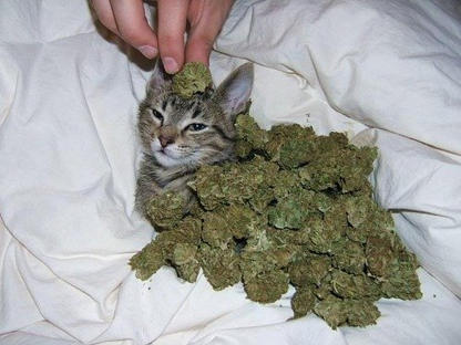 Kitty Kush