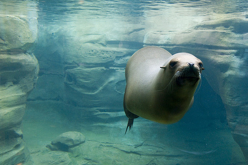 rainbowsandwitheringwinters:  Surreal Seal (Sea Lion Actually) (by Durall069)