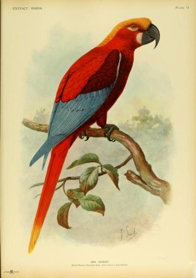 Ara grossei (the Jamaican Red Parrot) was a hypothetical parrot that used to live on the island of Jamaica. Records of it come from descriptions and paintings of one skin that was in the Earl of Derby's zoological collection.  It's been suggested that the parrot was not a unique species, but either a misidentified specimen or a conspecific subspecies of the Cuban Red Parrot (Ara tricolor).  Extinct Birds. Hon. Walter Rothschild, 1907.