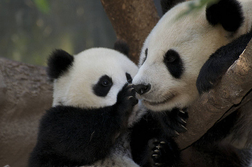 fuckyeahgiantpanda:  Zhen Zhen and mother Bai Yun at the San Diego Zoo on August 9, 2008. Boop your nose! © Rita Petita.