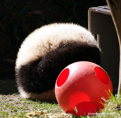 fuckyeahgiantpanda:  Panda ball! Zhen Zhen at the San Diego Zoo on February 23, 2008. © Somesai.  Further evidence that Zhen Zhen is my panda personality twin.