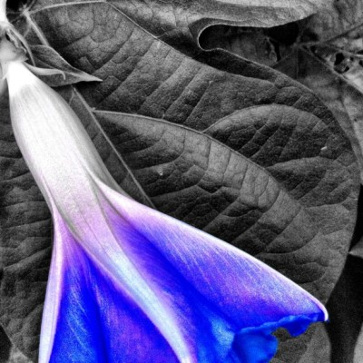 #morningglory #blue #flower (Taken with instagram)