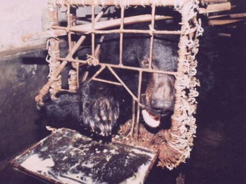 "eximago:  In China exists farms that extract bile from Asiatic black bears for use as a traditional medicine. To make the bile extraction process easier, the bears are kept in 2.6 feet x 4.4 feet x 6.5 feet (79 cm x 130 cm x 200 cm) cages called ""crush cages"" that prevent the bear from being able to move. Often kept in the cages for up to 12 years, the bears suffer severe muscle atrophy and mental trauma, often leading to self-destructive behaviors, such as the chewing of their own paws. To reach the bile, a tube is inserted in the animal's abdomen and gall bladder, causing the bear to moan and triggering the paw-chewing behavior. A method that's considered more humane is the use of a permanent hole in the bear's stomach that allows bile to drip freely from the gall bladder. Unfortunately, this can cause bile to enter the blood stream and is prone to infection, leading to a high mortality rate.  I usually only blog my art, but everyone should know about this. While most of us live pretty fantastic lives (even if they seem a little dull or depressing at times) we need to remember what life can be for other creatures on this earth."