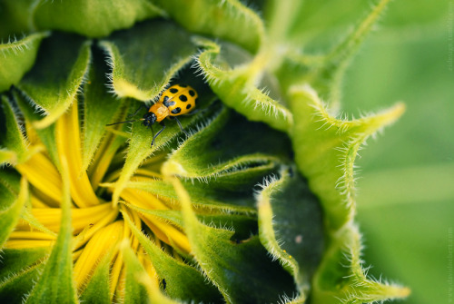 spotted cucumber beetle (Diabrotica undecimpunctata) in a field of sunflowers.