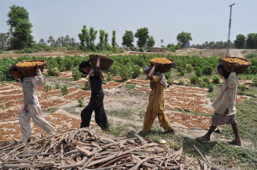 Pakistani farmers carry harvested dates in a palm orchard in Rajankot, near the city of Hyderabad, in preparation for Ramadan. Pakistan is the world's fourth largest producer of dates, which are generally used to break the fast during Ramadan each day. Follow us on Facebook | Twitter or Submit something or Just Ask!
