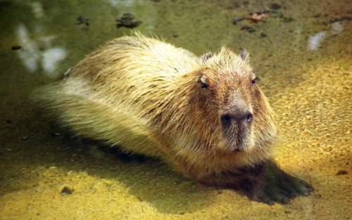 Capybaras are the largest living rodents in the world. They live in herds of about 20 individuals, feeding by day on the banks of rivers and in swampy areas. Although they are well suited to being in water, with eyes and nostrils high on their head and webbed feet, Capybaras do not feed for long periods in water. They tend to use water as a refuge from predators and as a means of keeping cool on hot days. If startled, Capybaras gallop into water and may swim to the safety of floating plants. When they surface, only their eyes and nostrils are visible. Capybaras do not have permanent dens, but sleep in waterside thickets. Each herd contains several adults of both sexes as well as their offspring, all conforming to a hierarchy. A single male leads the herd. Fights often break out between the other males as they attempt to improve their rank. Habitat: Thickly vegetated areas around fresh water Food: Grass, grains, melons and squashes Life Span: 10 Years Status: Common Breeding: 5 offspring born throughout the year