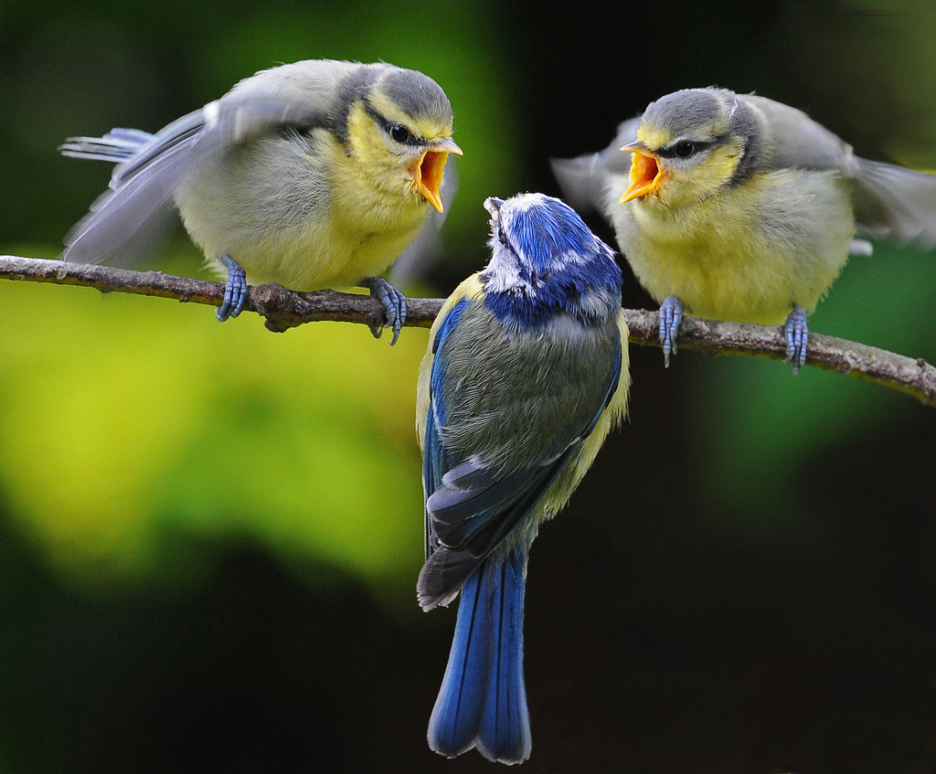magicalnaturetour:  More from the blue tit series ~ (via All sizes | Pick me, pick me……no pick me! | Flickr - Photo Sharing!) :)