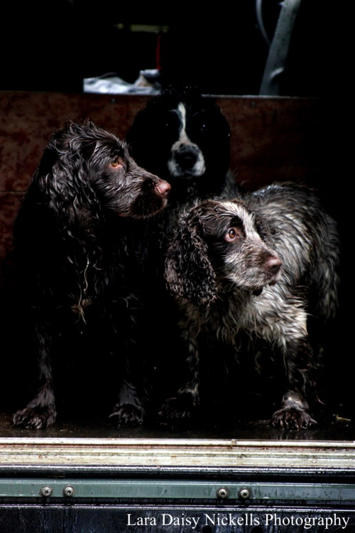 laradaisy:  Did a photoshoot with the gun dogs today. incredible animals.