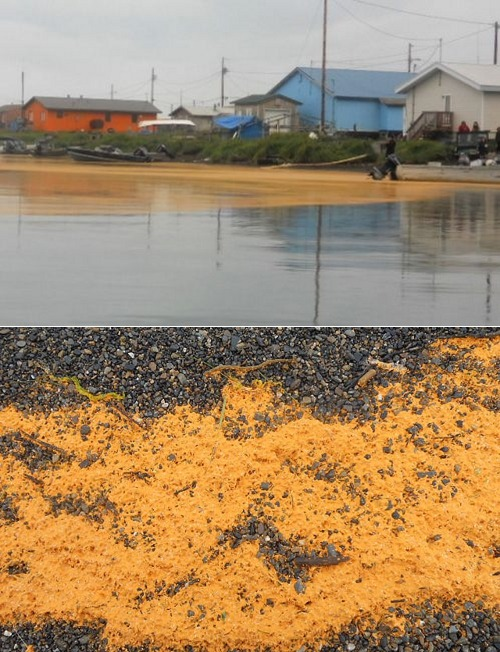"thedailywhat:  Orange Goo of the Day: Scientists with the National Oceanic and Atmospheric Administration say they have identified the mysterious orange goo that washed up on the shores of a small Alaskan village 625 miles northwest of Anchorage. The rust-colored substance that showed up last week near the village of Kivalina (pop. 425) has stumped the local whaling community and made international headlines, with many suspecting a man-made pollutant. But researchers in Juneau say the goo is actually a clutch of microscopic eggs. ""We now think these are some sort of small crustacean egg or embryo, with a lipid oil droplet in the middle causing the orange color,"" said the lab's lead scientist Jeep Rice. Additional testing will be required to determine which animal the roe belongs to. Out: Fear of an environmental disaster. In: Fear of an alien invasion. [latimes / ap / nydn.]"
